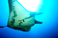 Giant manta Socorro Islands