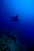 Giant Manta Socorro Islands below.