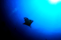 Giant Manta - Socorro Islands